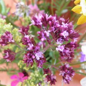 Květiny z horské louky (8)