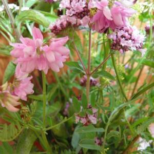 Květiny z horské louky (7)