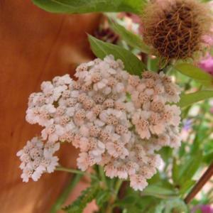 Květiny z horské louky (10)