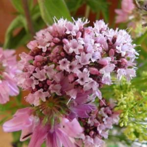 Květiny z horské louky (11)
